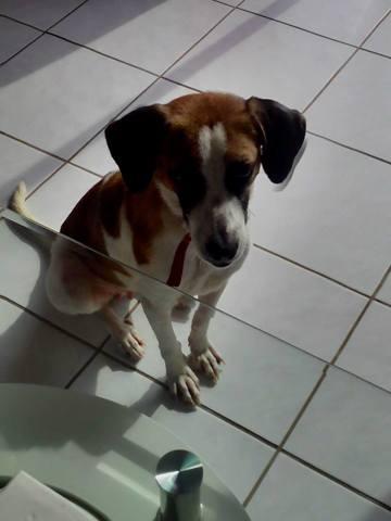 Nouméa, chien Beagle-Harrier