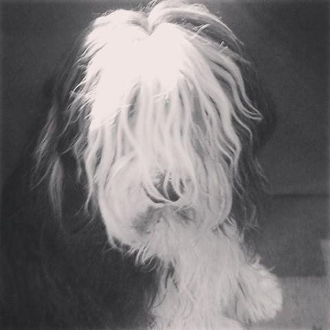 Faramir, chien Bearded Collie