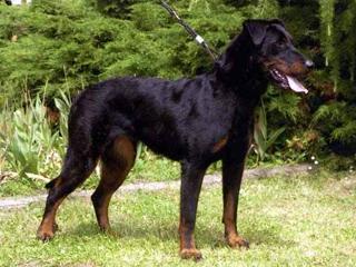 Lola, chien Beauceron