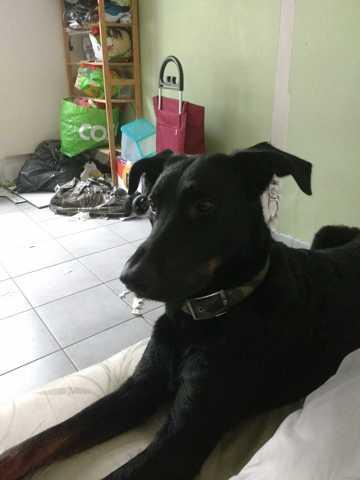 Jess, chien Beauceron