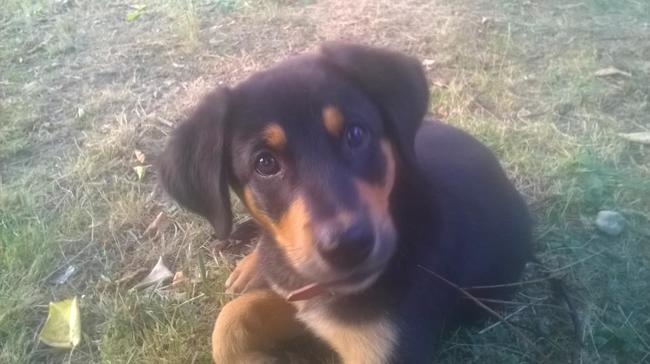 Milton, chien Beauceron