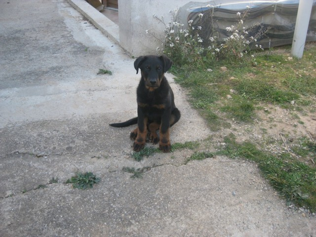 Lucifer, chien Beauceron