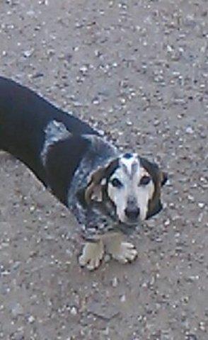 Bebert, chien Bleu de Gascogne