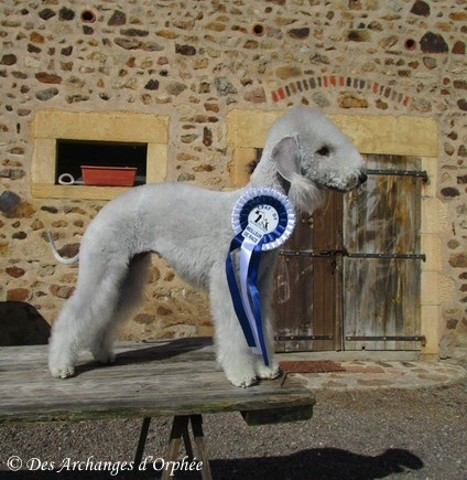 Jaslane Des Archanges D'Orphée, chien Bedlington Terrier