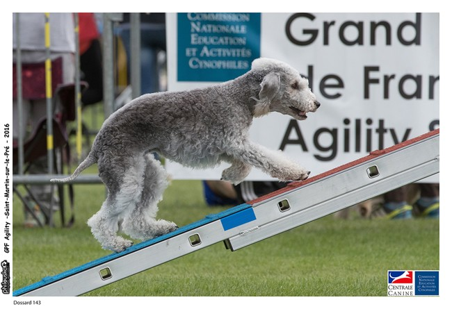 Toolbox Super Trouper Dite Olga, chien Bedlington Terrier
