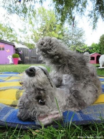 R'Mione Des Archanges D'Orphée, chiot Bedlington Terrier