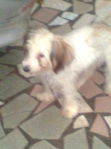 Beethoven, chien Petit chien lion