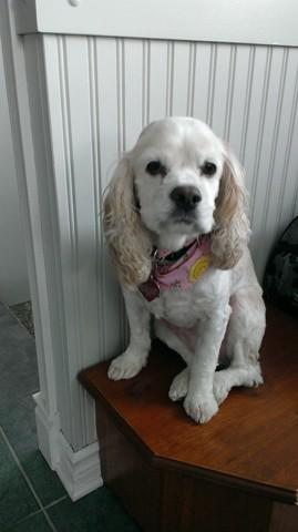 Bella, chien Cocker américain