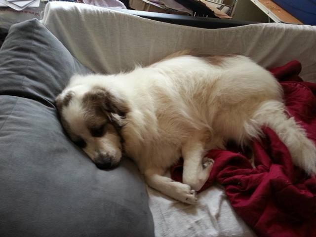 Belle, chien Chien de montagne des Pyrénées