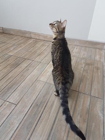 Louve, chaton Bengal