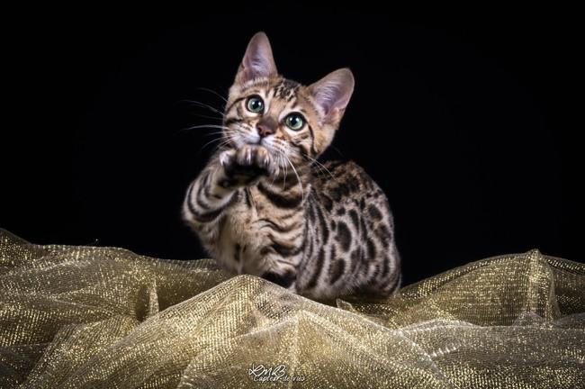 Missdior, chaton Bengal