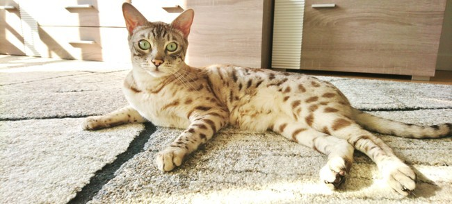 Jouki, chat Bengal