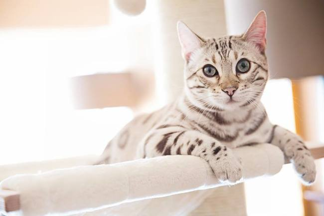 Coco, chat Bengal