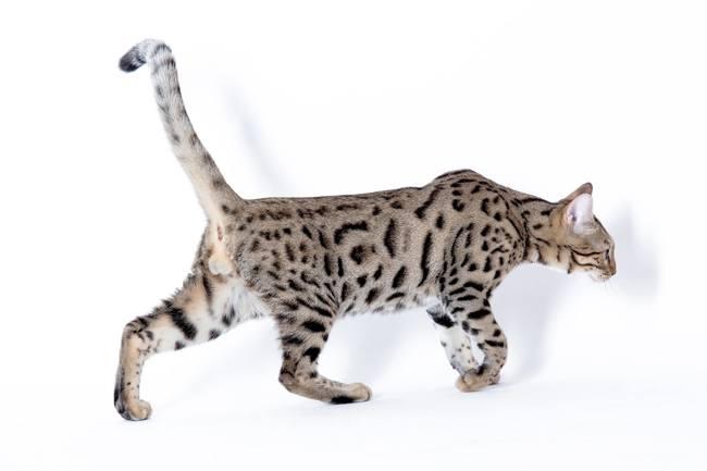 Nyamé, chat Bengal