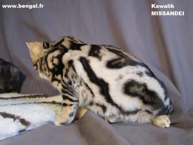 Kawalik Missandei, chat Bengal