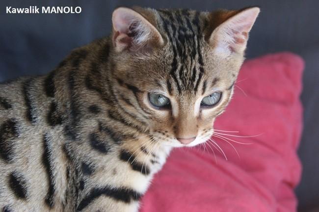 Kawalik Manolo, chat Bengal