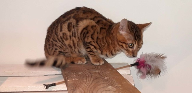 Oups, chat Bengal