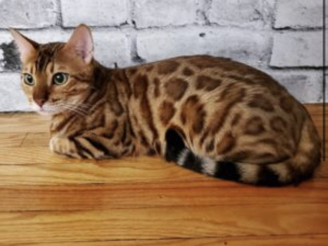 Marcus, chat Bengal