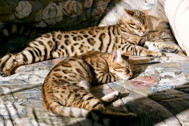 Photo de florine chat bengal 93523 wamiz - Sieste bebe 5 mois ...