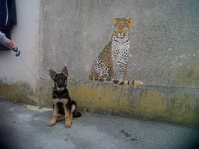 Hélyos, chien Berger allemand