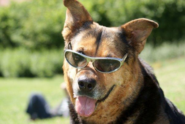 Nina, chien Berger allemand