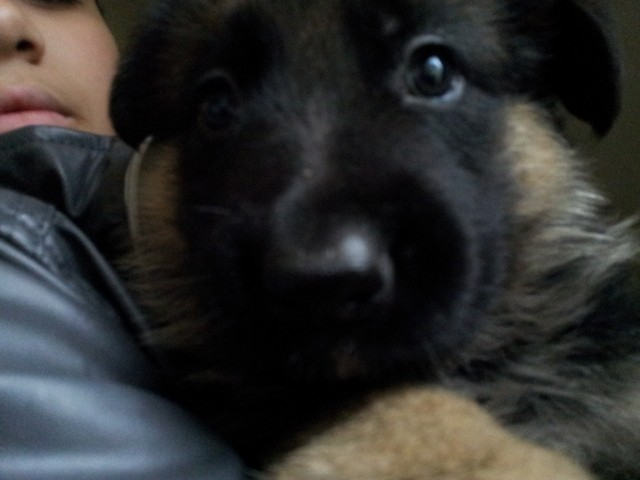 Halaska, chien Berger allemand