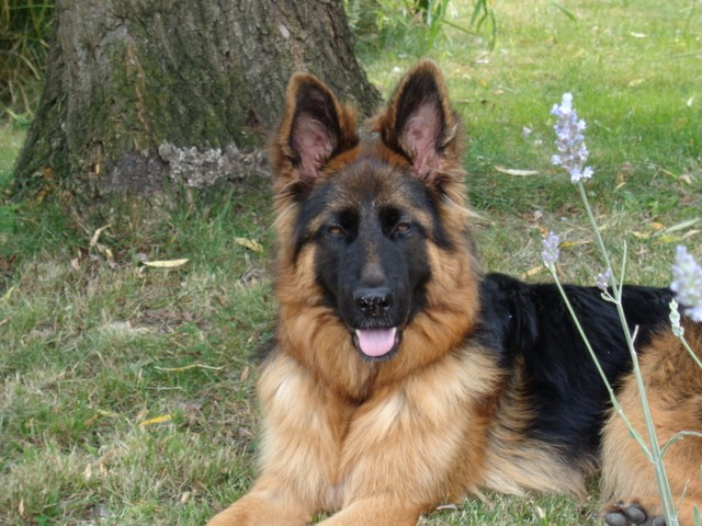 Swanny, chien Berger allemand