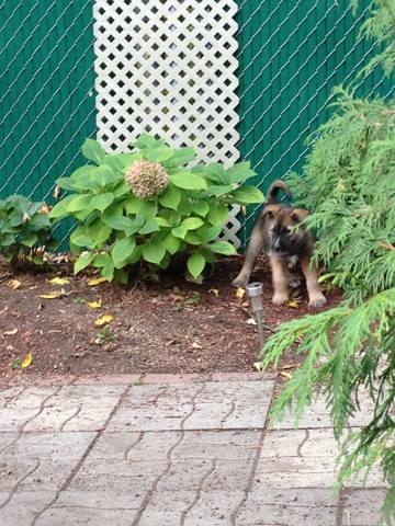 Cooper, chien Berger allemand