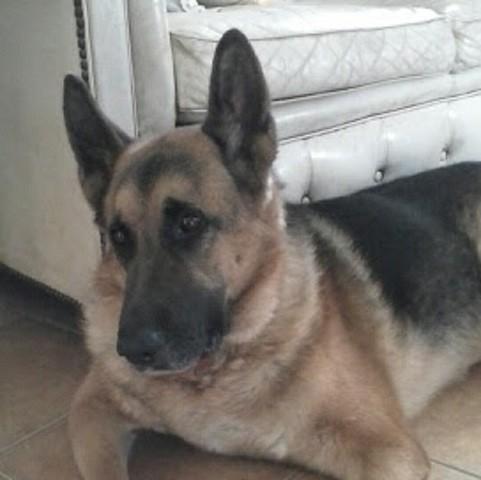 Jules Ami Exceptionnel Au Paradis, chien Berger allemand