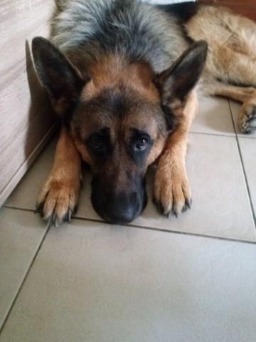 Iniesta, chien Berger allemand