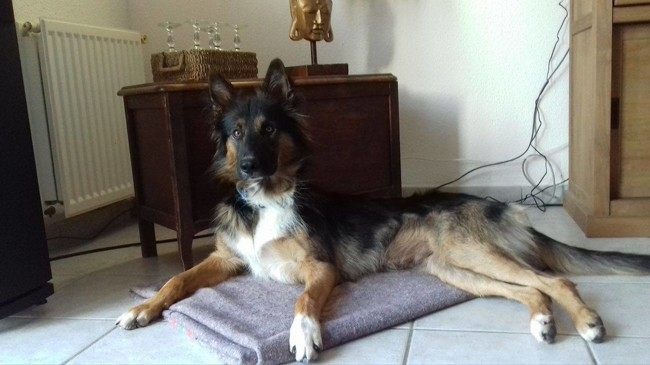 Scooby, chien Berger allemand