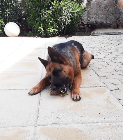 Hyuka, chien Berger allemand