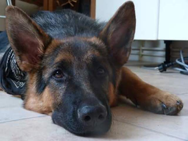 Ghost, chien Berger allemand