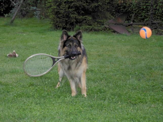 Zeus, chien Berger allemand