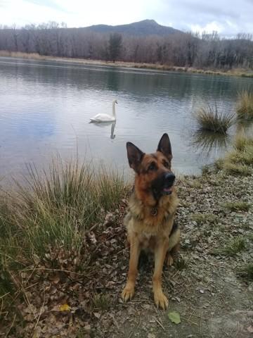 Wilko, chien Berger allemand