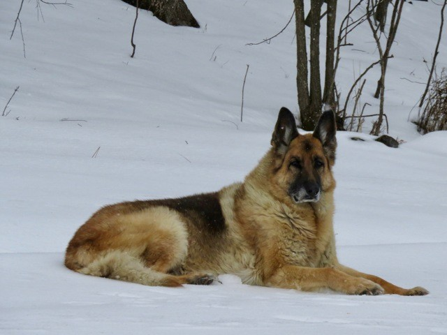 Rambo, chien Berger allemand