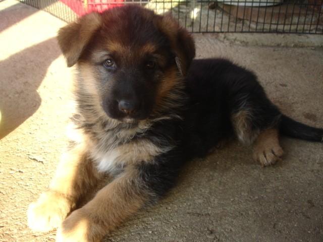 Photo de gaya chien berger allemand 65047 wamiz - Image bebe chien ...