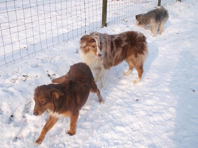 Cannelle, chien Berger australien