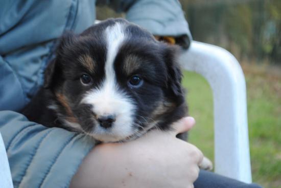 Jaya, chien Berger australien