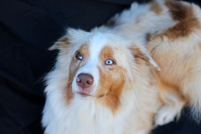 Jewel, chien Berger australien