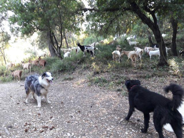 Jaîka, chien Berger australien