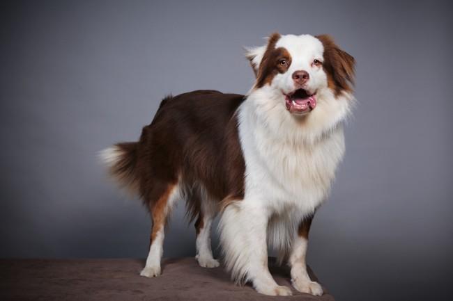 Lango, chien Berger australien