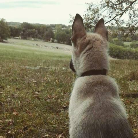 Daiko, chien Berger belge