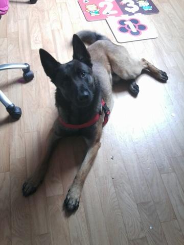 Haiko, chien Berger belge