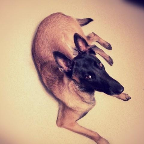 Maya, chien Berger belge