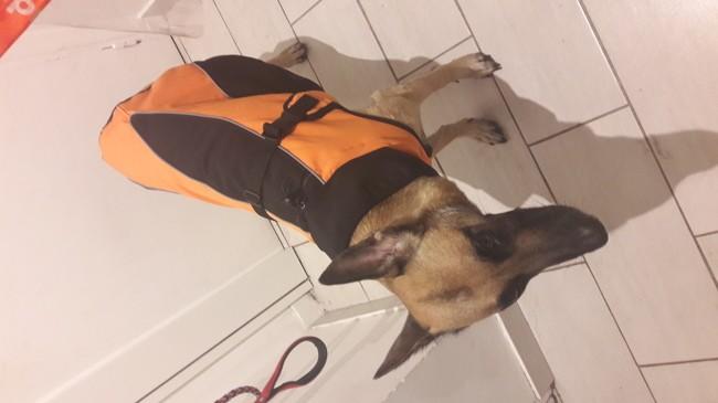 Lena, chien Berger belge