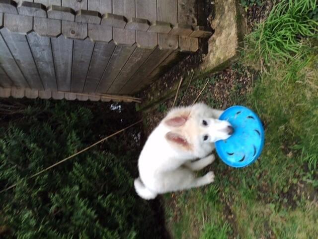 Enzo, chien Berger blanc suisse