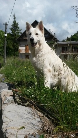 Jana, chien Berger blanc suisse