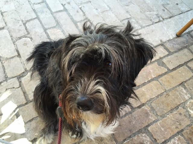 Bounty, chien Terrier tibétain