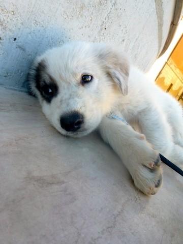 Nanouk, chien Berger de Maremme et des Abruzzes